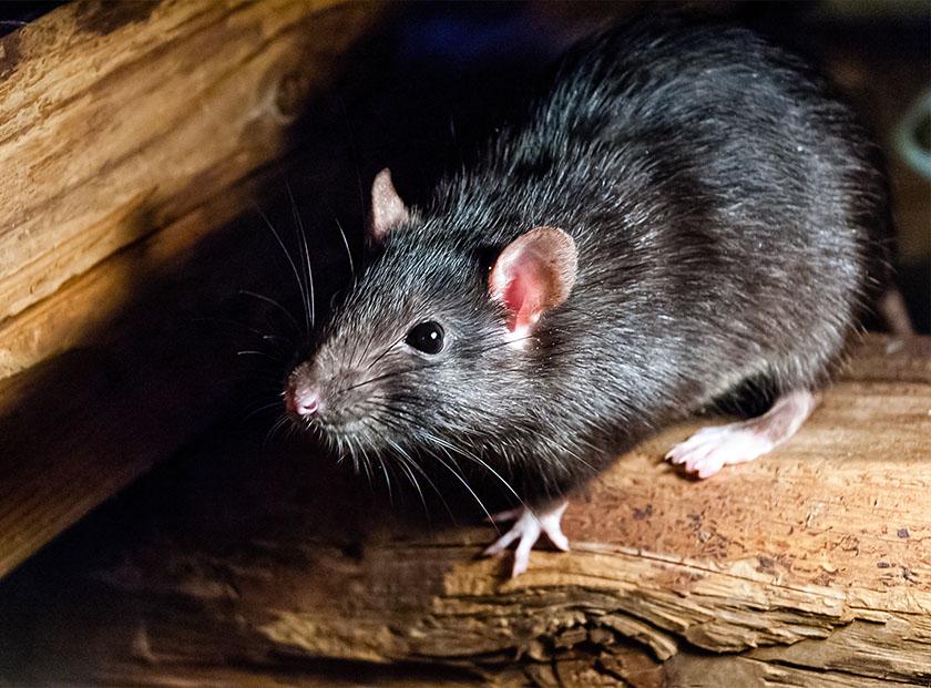 Ratten und Mäuse bekämpfen in München